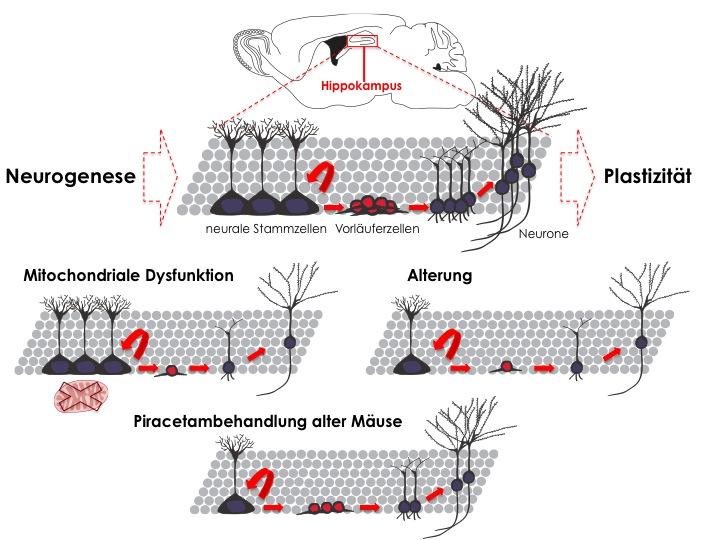 plastizitat des gehirns und die erwachsenen gehirns
